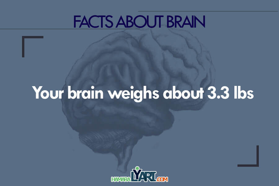 Your brain weight about 3.3 lbs.
